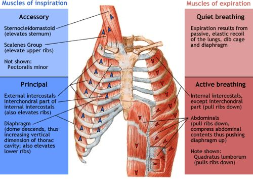 The Importance of Breathing for Your Musculoskeletal health
